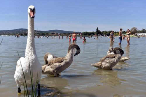Hattyúk és fürdőzők a Velencei-tóban a Velence Korzó szabadstrandon 2015 augusztus 1-jén. A szakhatóságok megállapították, hogy a tó partján három úgynevezett szabadstrand, vagyis természetes fürdőhely nem rendelkezik engedéllyel. A Fejér Megyei Kormányhivatal e három fürdőhely működtetését felfüggesztette. A tó partján tíz kijelölt, engedéllyel rendelkező fürdőhely működik, köztük a Velence Korzó szabadstrand. MTI Fotó: Máthé Zoltán