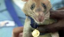 Magawa patkány