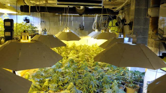 Kannabiszültetvény a Pest megyei Remeteszőlősön 2021. január 18-án. Az illegális növénytermesztés leleplezéséhez szükséges előkészítés után a Komárom-Esztergom és Pest megyei rendőrség január 18-án közel ezer tőből álló kannabiszültetvényt számolt fel egy remeteszőlősi ház pincéjében. A helyszíni szemlén összesen 903 tő kannabiszt számoltak össze. A rajtaütéssel a becslések szerint kb. 180 kiló, több százmillió forint értékű marihuána felhalmozását akadályozták meg. Az ültetvény gazdáját, az ott lakó férfit előállították. MTI/Mihádák Zoltán